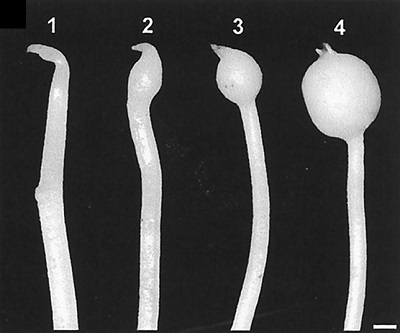 Stages of tuber development
