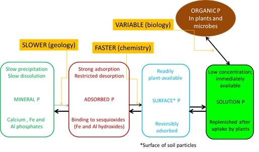 Phosphorus dynamics in soil